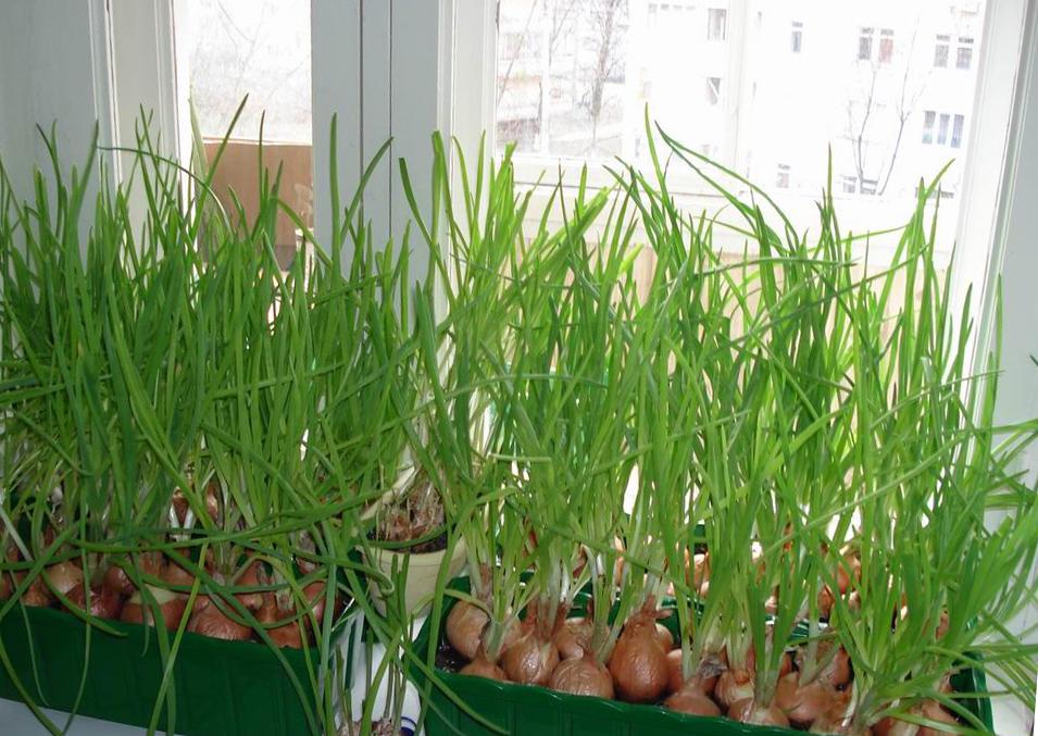 Технология выращивания лука из семян на перо 24