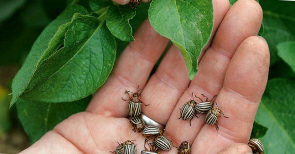 Чем обрабатывать картофель от колорадского жука