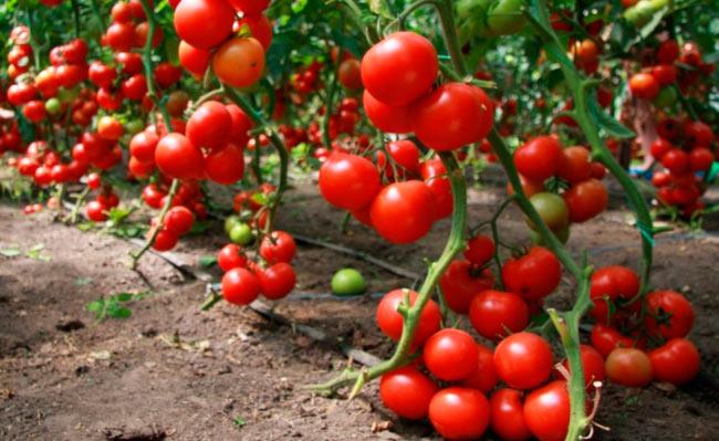 Индетерминантные томаты в теплице