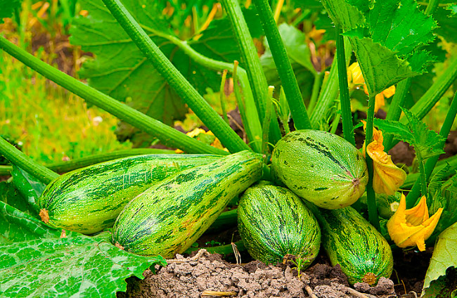 Как выращивать кабачки в теплице: секреты агротехники