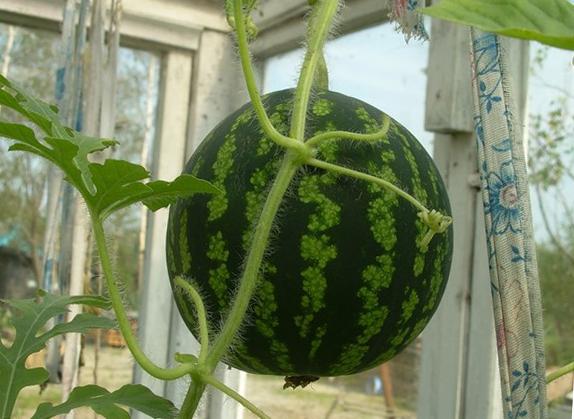 Как вырастить сладкий арбуз из косточки Огородник