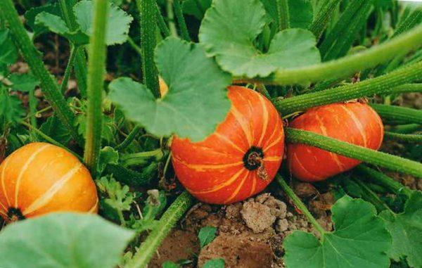 Как вырастить тыкву в открытом грунте