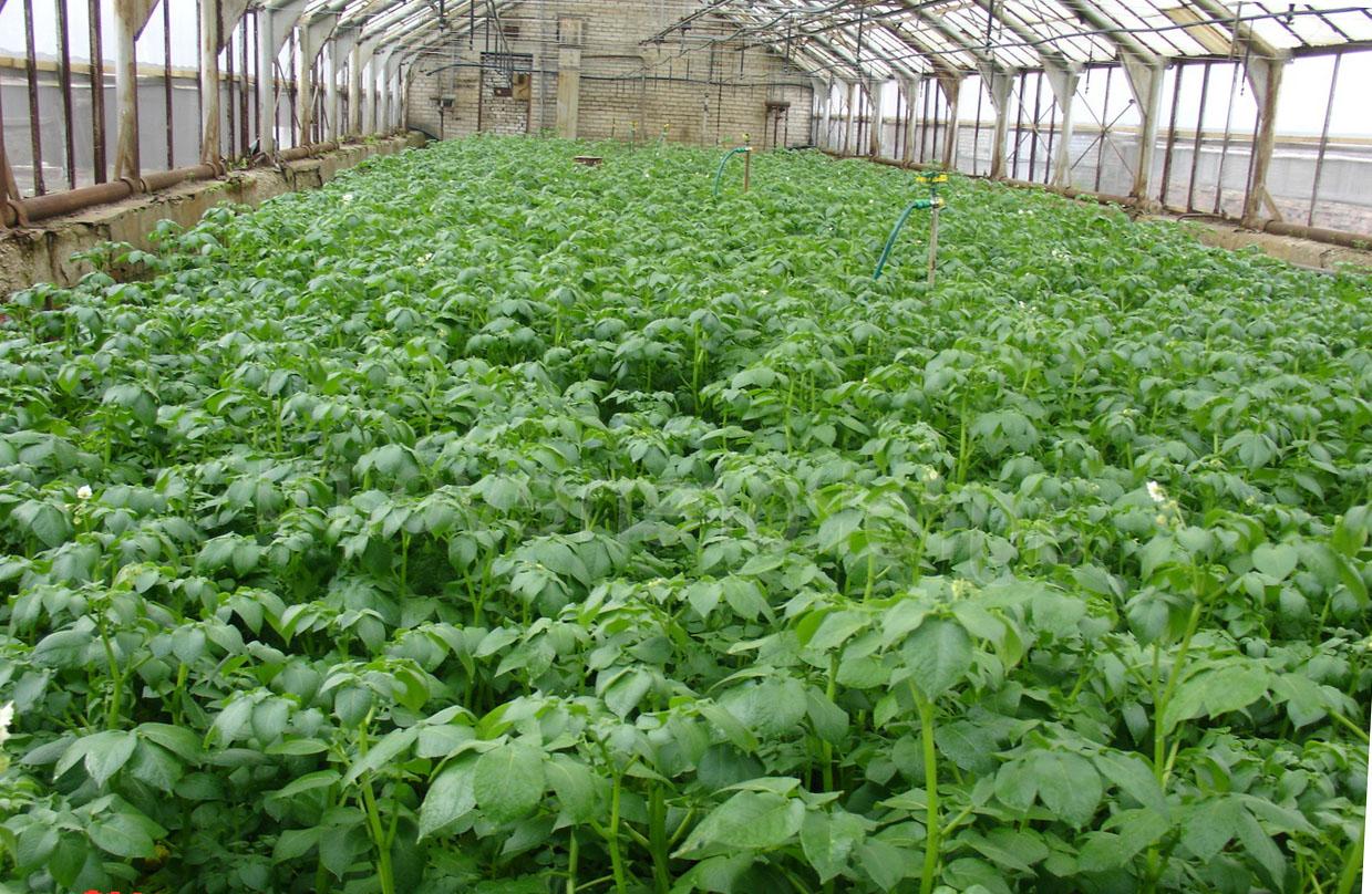 Картошка технология выращивания 13