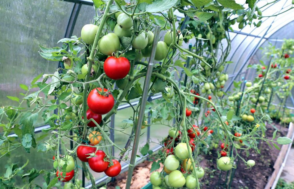 Выращивание томатов особенности 60
