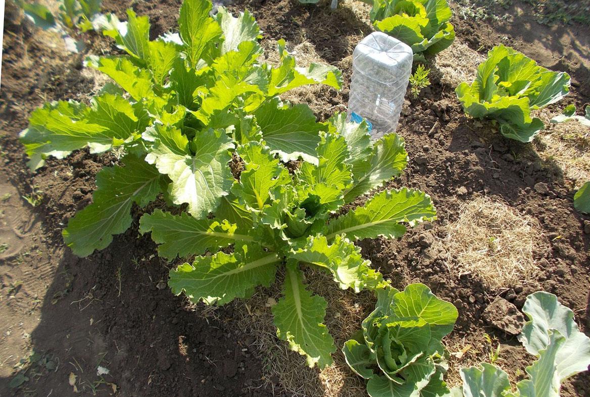 почему зацветает капуста брокколи