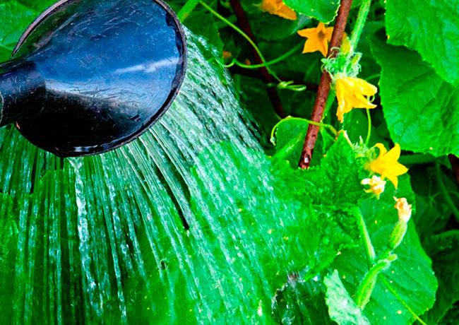Нормы полива огурцов в теплице
