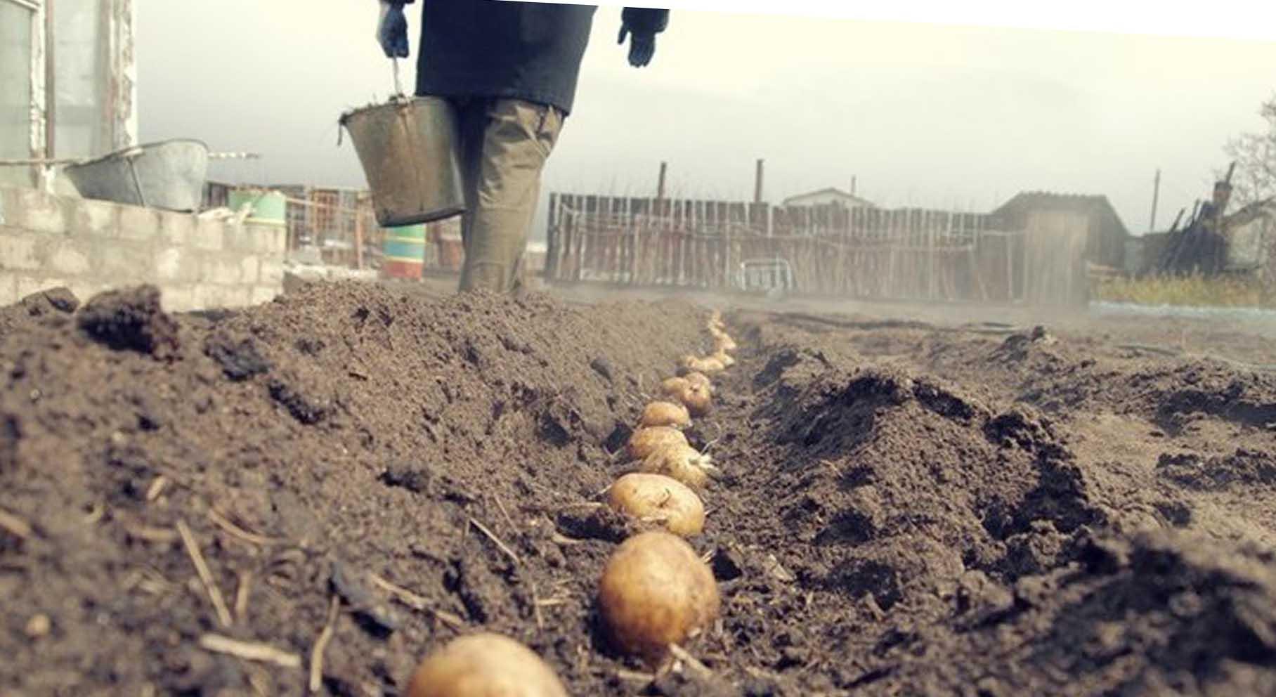 Картофель сажать под зиму 92