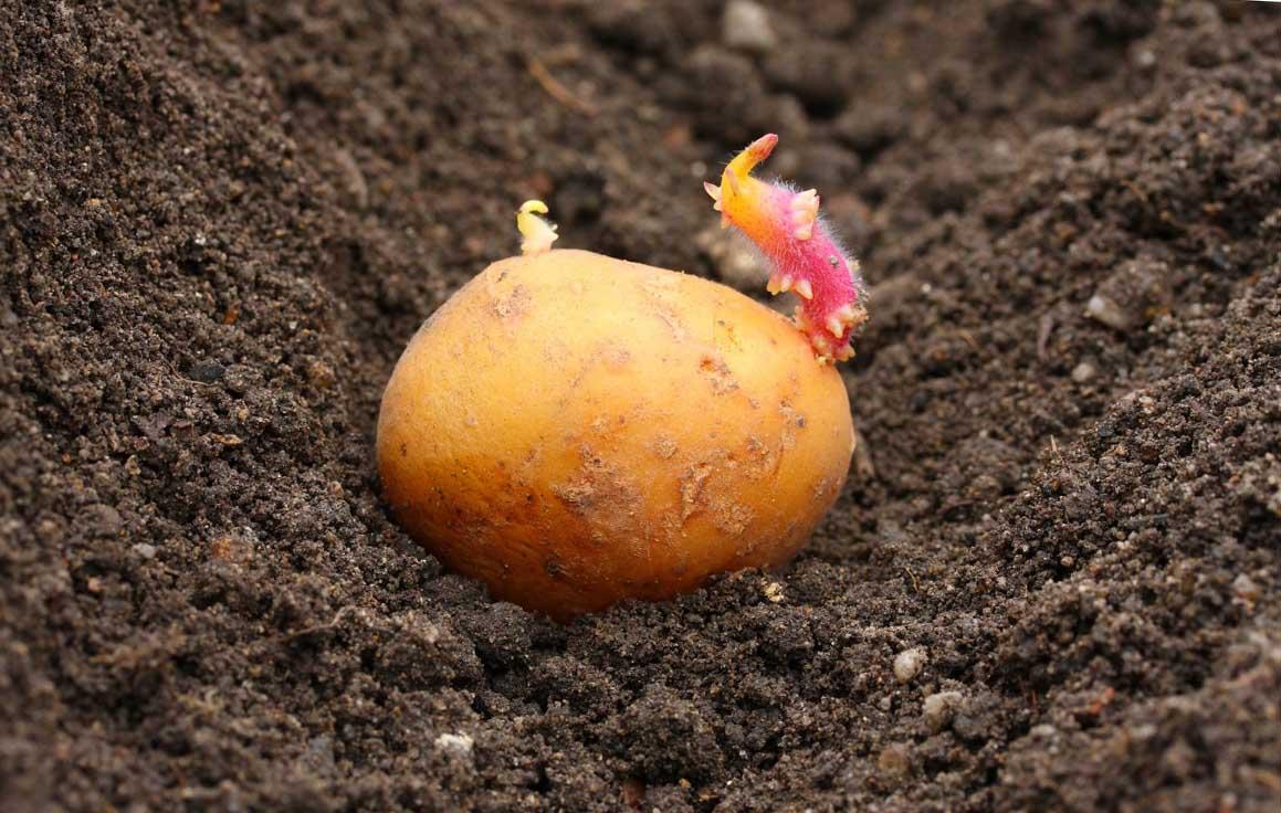 Картофель сажать под зиму 68