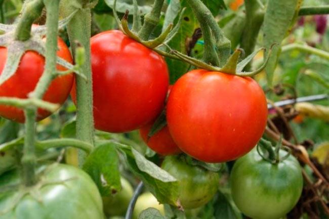 Сорта томатов устойчивых к фитофторозу для теплиц