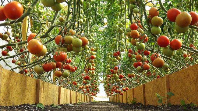 Лучшие сорта помидоров для выращивания в теплице