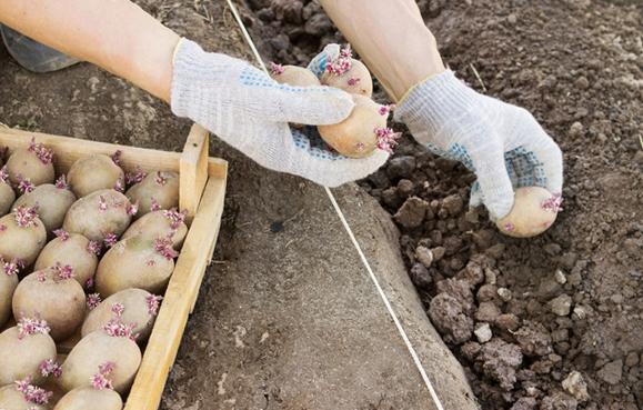 Сажать картофель в зиму 957