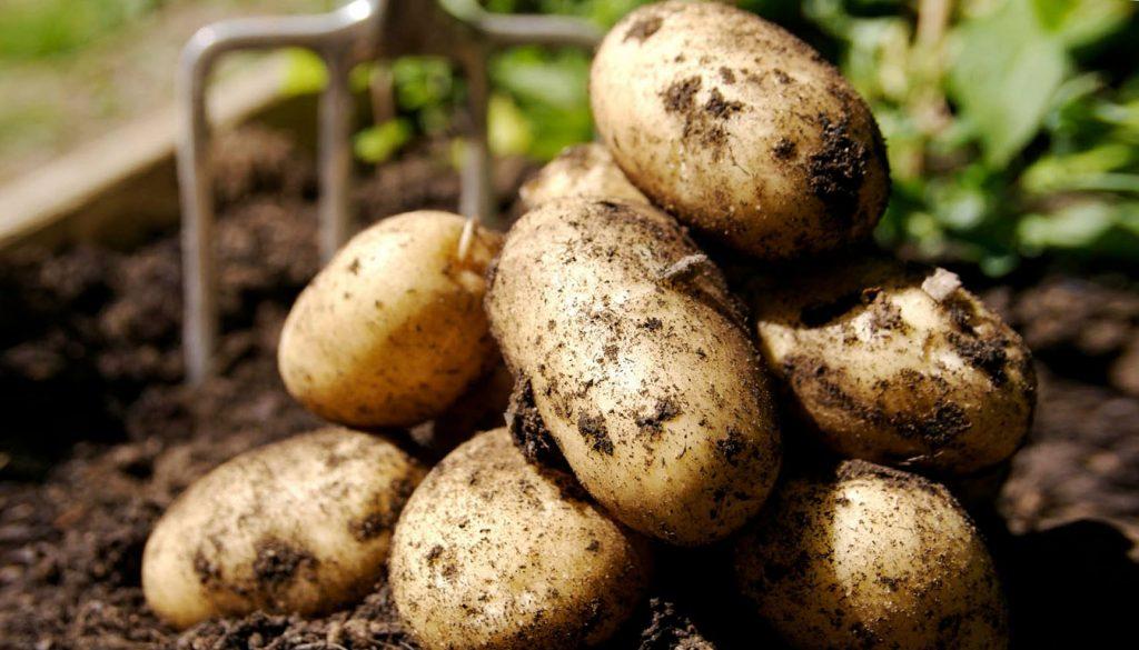 Как вырасти хороший урожай картошки
