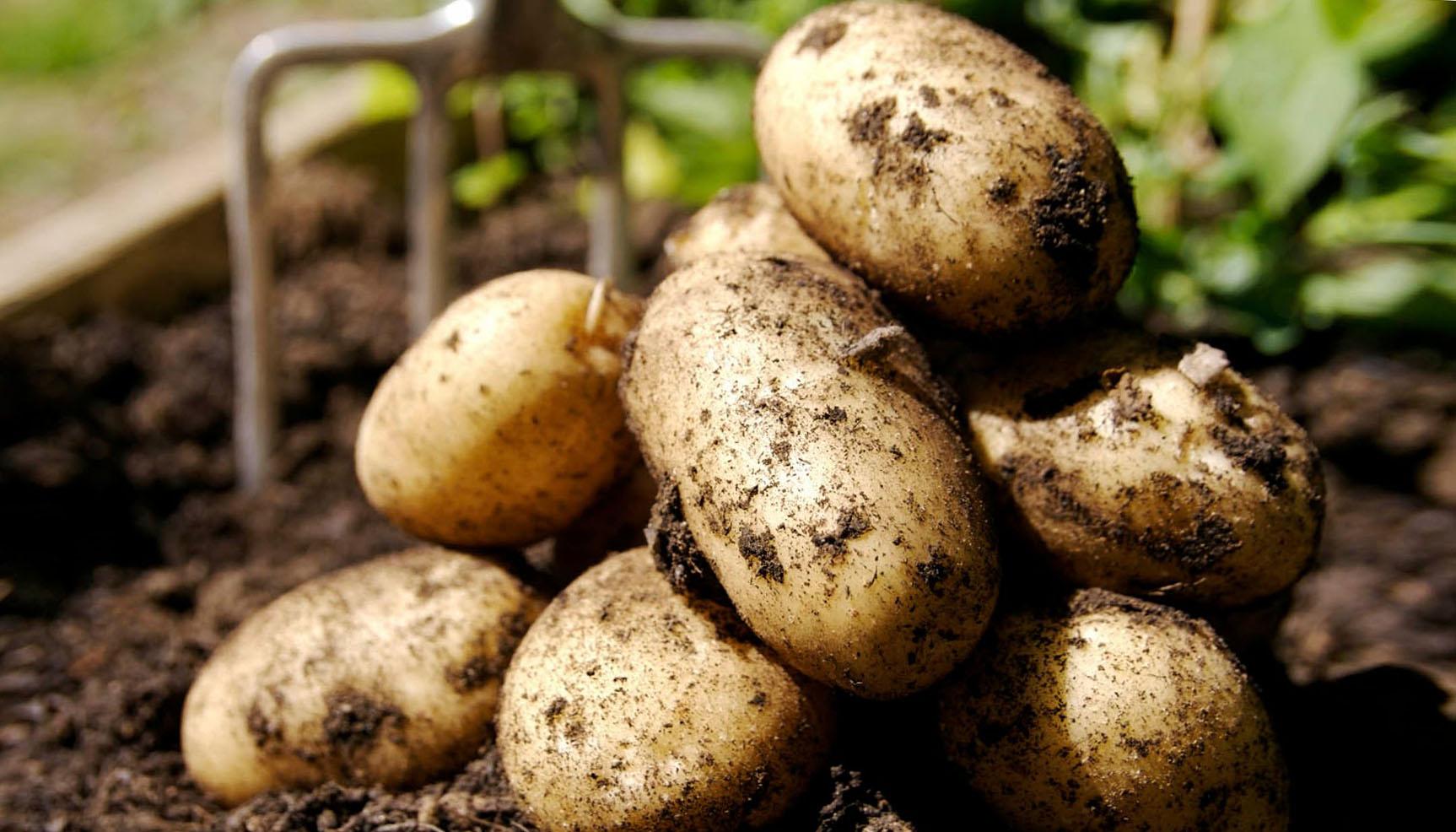 Картошка технология выращивания 94