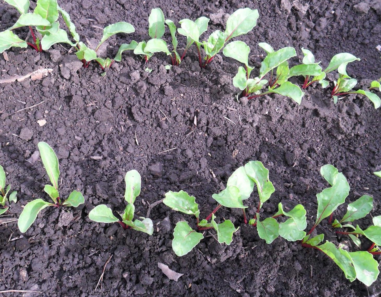 Агротехника выращивания свёклы. Посадка свёклы семенами 79