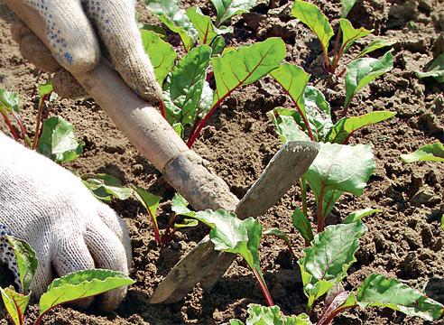 агротехника выращивания свеклы