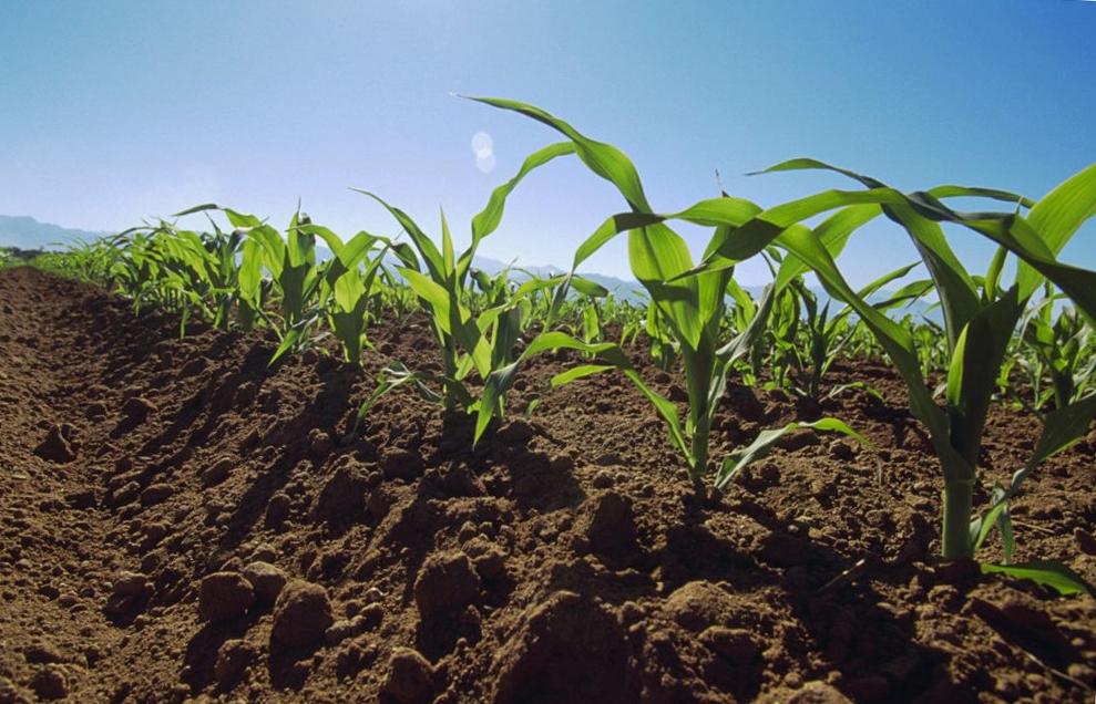Чем подкормить кукурузу в новом сезоне