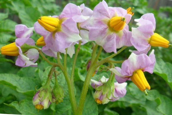 для чего нужно обрывать цветки на картофеле