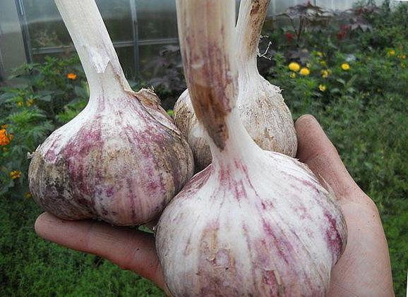 Советы по выращиванию чеснока: как сажать по лунному календарю, как выращивать крупный яровой чеснок