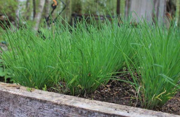 как вырастить хороший лук на зелень