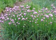Агротехника выращивания лука шнитт из семян