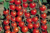 помидоры черри выращивание