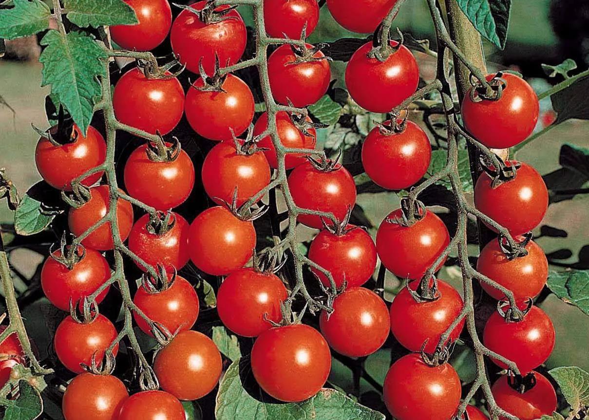 Как выращивать черри в открытом грунте. Выращивание помидоров черри в теплице