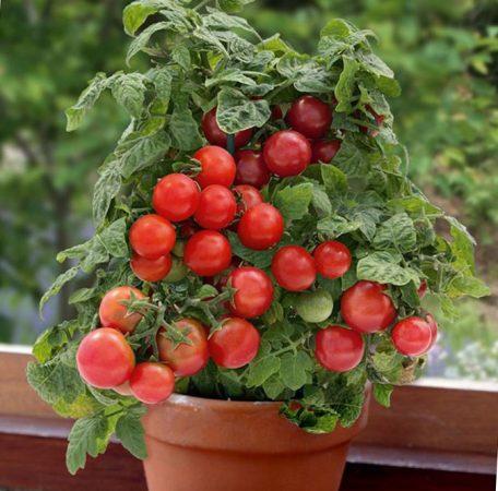 сорта помидор черри