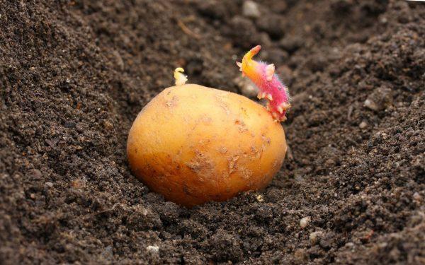 сроки выращивания картофеля