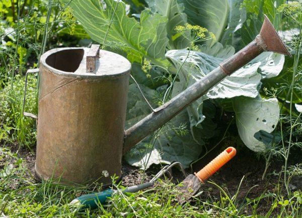 Капуста выращивание и уход в открытом грунте