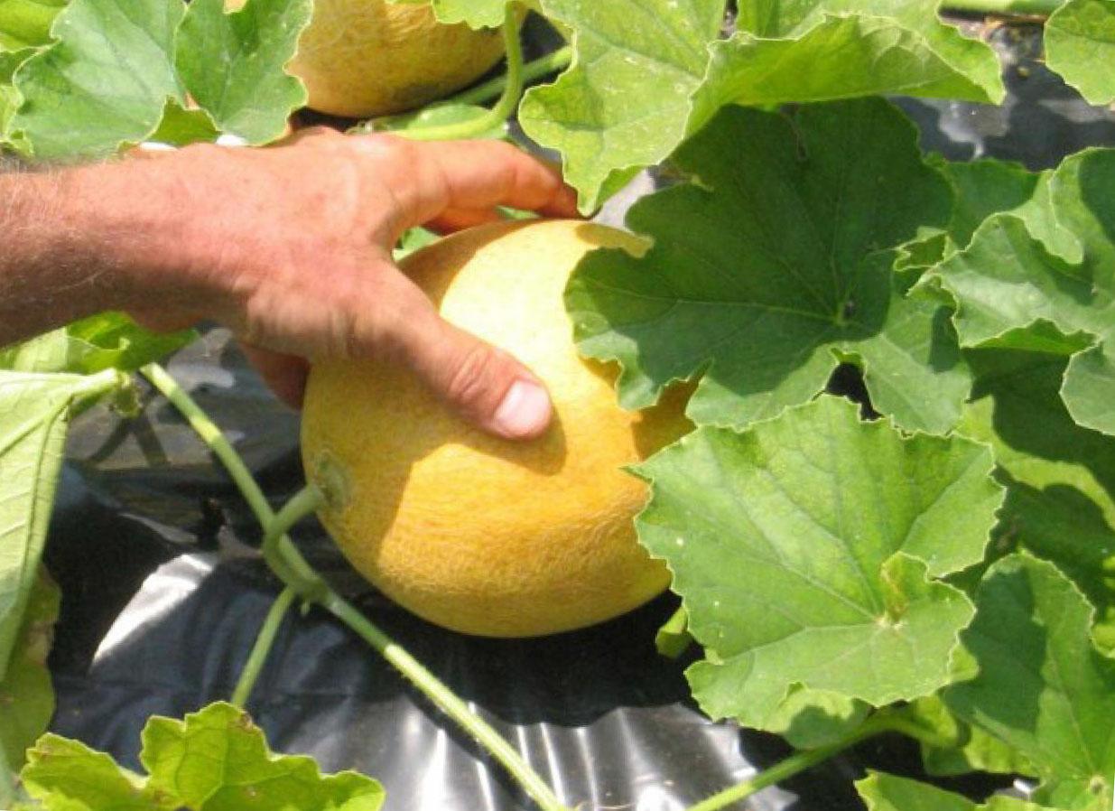 Выращивание арбуза и дыни в подмосковье 99