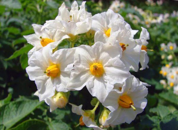 зачем обрывают цветки у картофеля