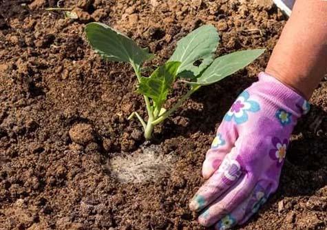 чем подкормить цветную капусту для формирования кочана