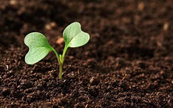 как получить хороший урожай цветной капусты