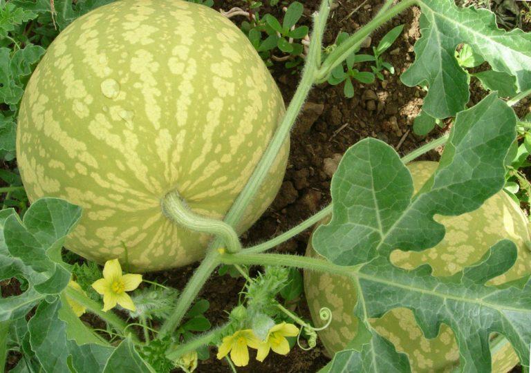 Арбуз выращивание открытым грунт 733