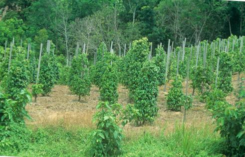 Перец черный горький горошком выращивание 37