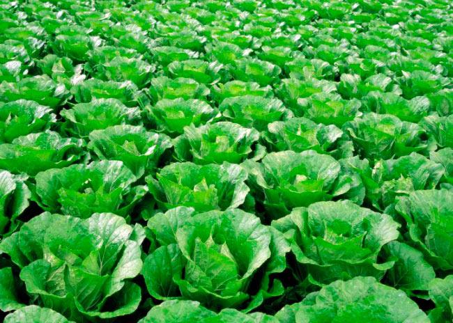 Выращивание капусты в теплице зимой