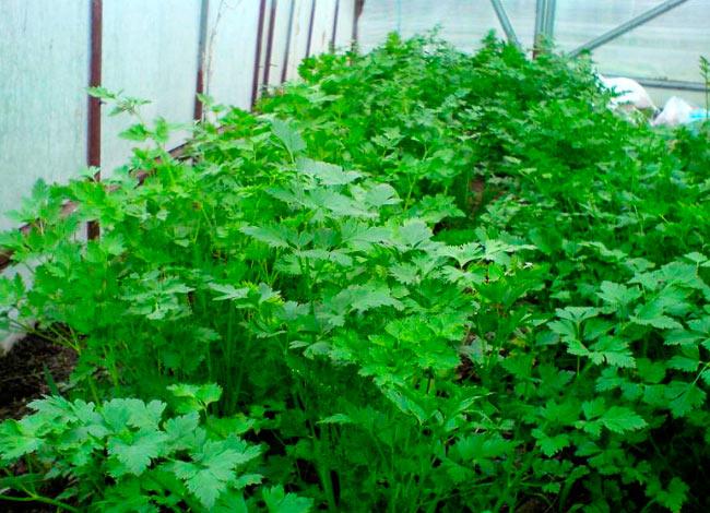 Выращивание кинзы в теплице зимой: как подготовить теплицу и