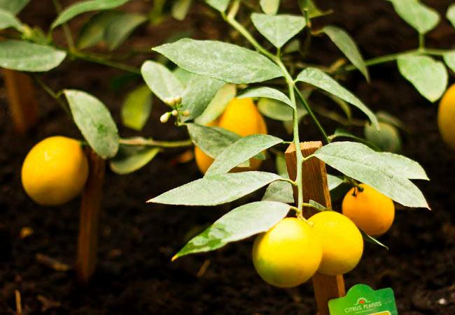 Тепличный лимон