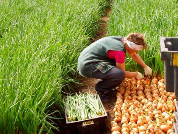 Выращивание лука на перо в августе 80