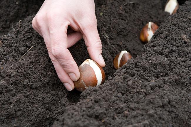 Луковицы тюльпанов зачастую реализуются в питомниках, магазинах или частными лицами, которые осуществляют их разведение.