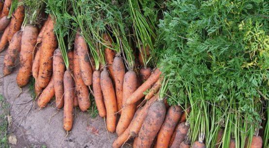 почему сохнет ботва у моркови