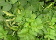 Почему скручиваются листья у картофеля