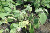 почему вянут баклажаны в открытом грунте
