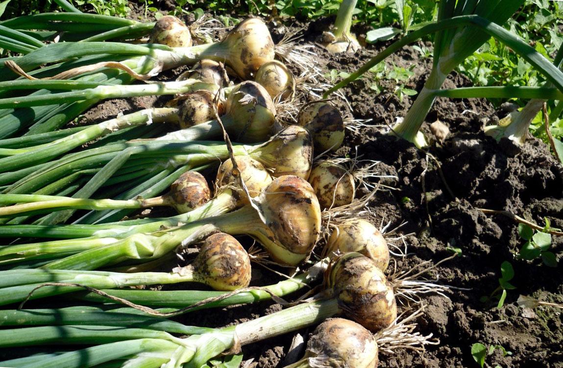 Выращивание и уборка лука 441