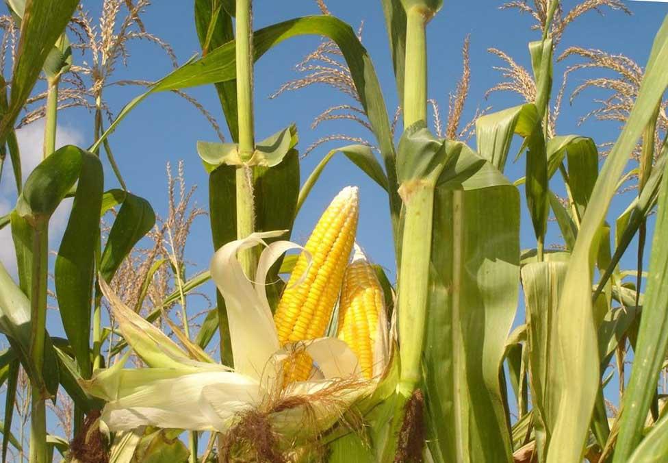 Выращивание кукурузы на початки 87