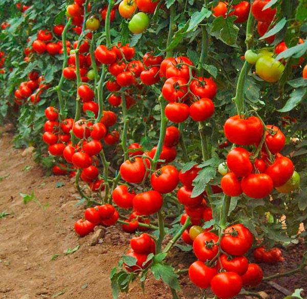 Грядки томатов в теплице