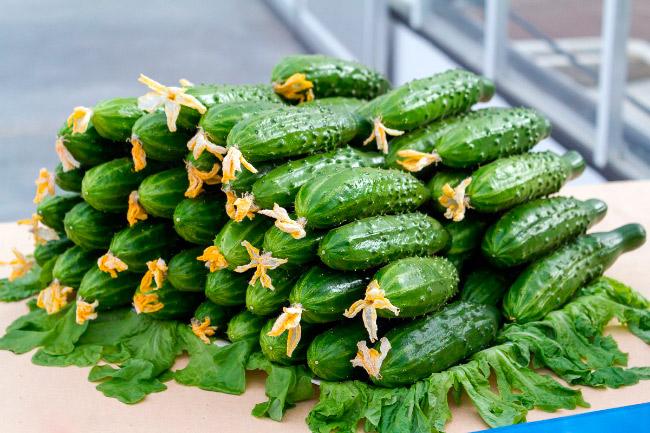 Сорта огурцов устойчивые к болезням для открытого грунта