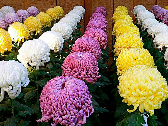 Выращивание хризантем в теплице 38