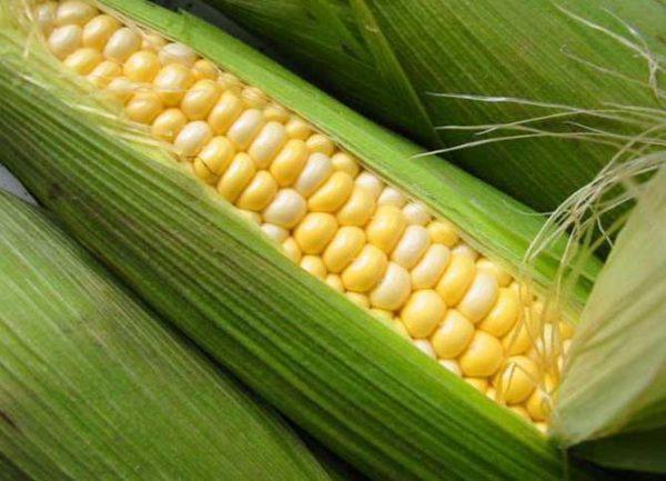 выращивание кукурузы на зерно в домашних условиях