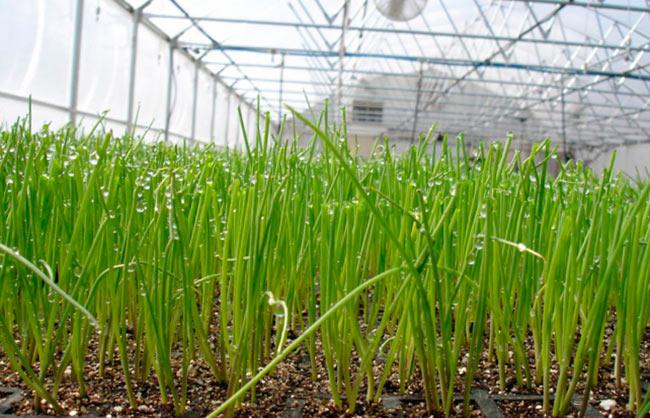 Технология выращивания лука из семян на перо 52